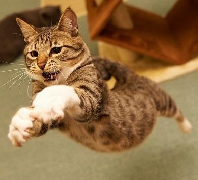 gatto salta